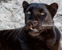 Iepērkaties PTA? Jūs maksājat sodu visatļautības sajūtas pārņemtās melnā leoparda sakropļotāju ģimenes vietā